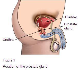 Position of the prostate gland